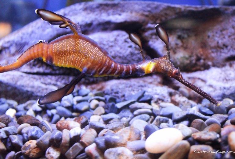 Georgia Aquarium - Seadragon