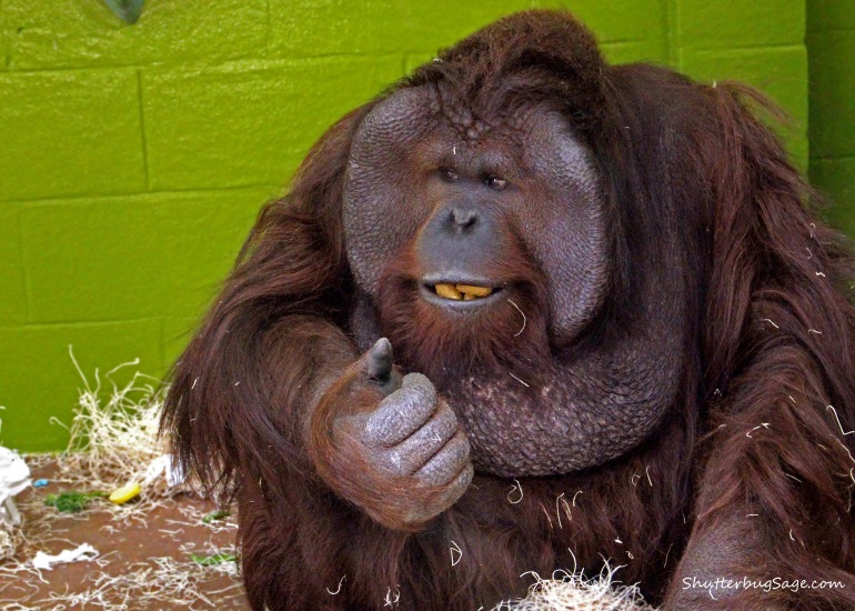 Bornean Orangutan_edited-1