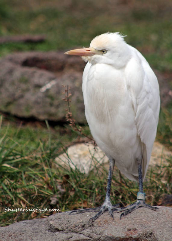 Cattle Egret_edited-1