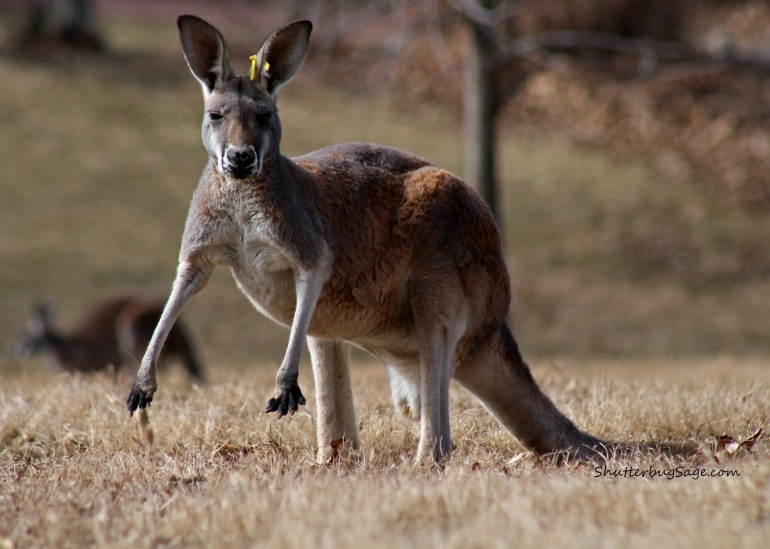 Kangaroo 2_edited-1