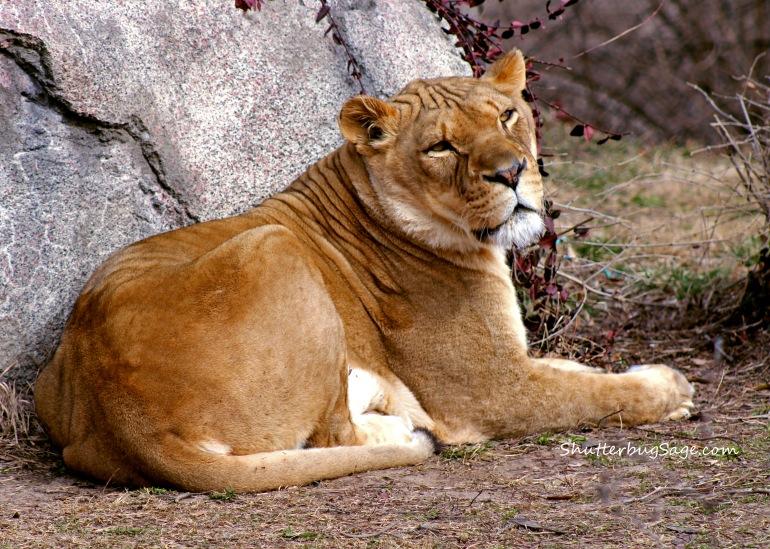 Lion 1_edited-1