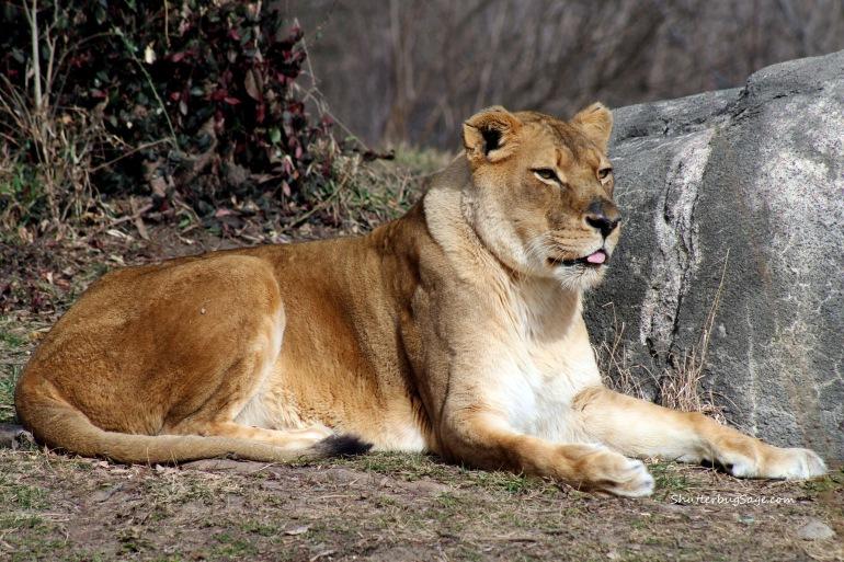 Lion 2_edited-1