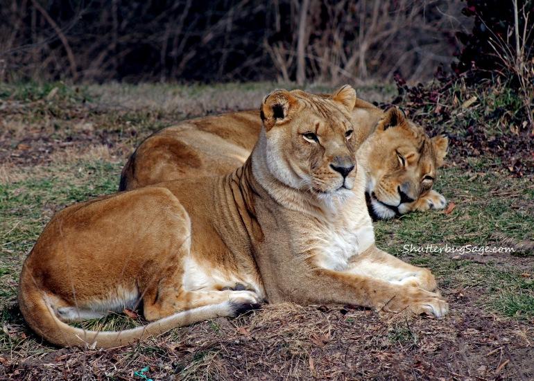 Lion 3_edited-1