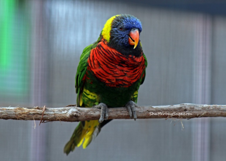 Lorikeet 2_edited-1