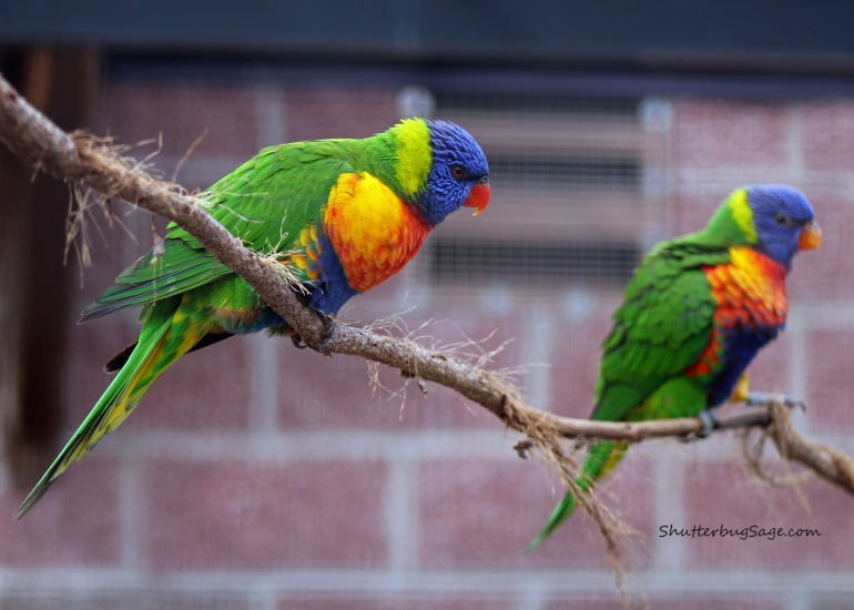 Lorikeet_edited-1