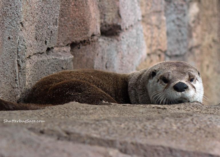 Kansas City Zoo - River Otter
