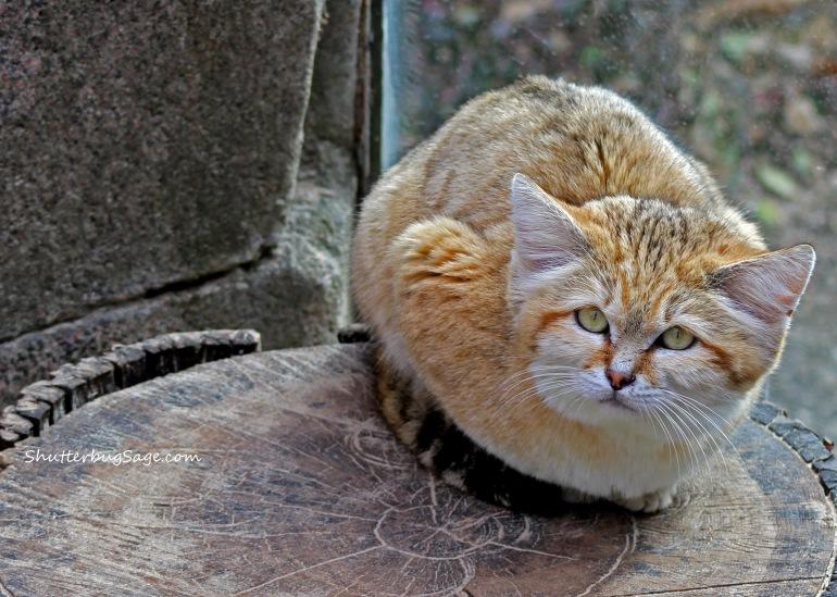 Sand Cat Final