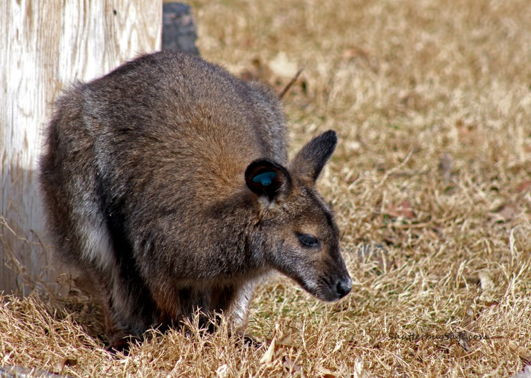 Wallaby_edited-1