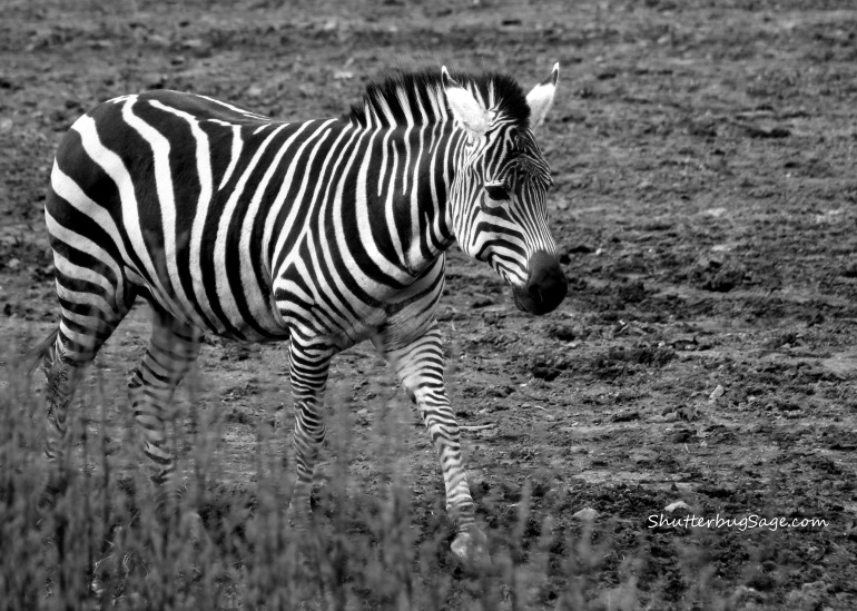 Zebra B and W_edited-1