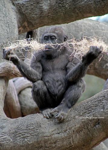 Zoo Atlanta - Baby Gorilla