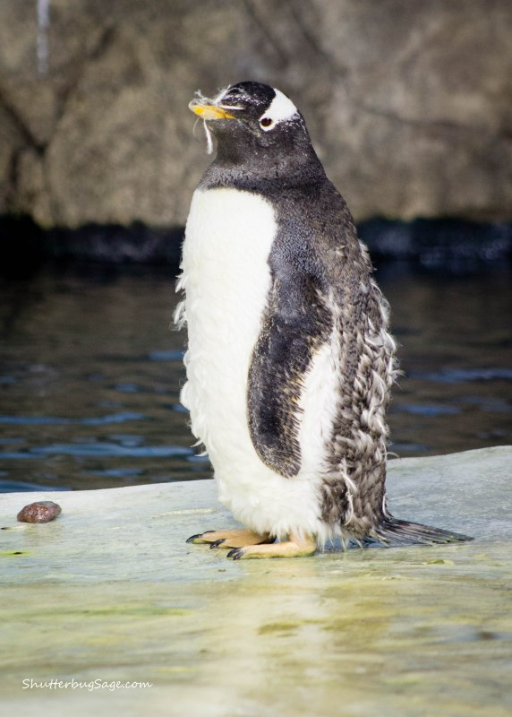 Molting penguin at the Kansas City Zoo