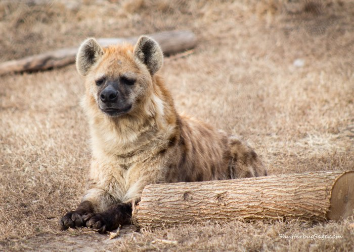 Sunset Zoo in Manhattan, Kansas - Hyena