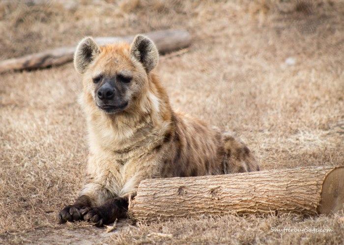 Sunset Zoo in Manhattan, Kansas - Hyena
