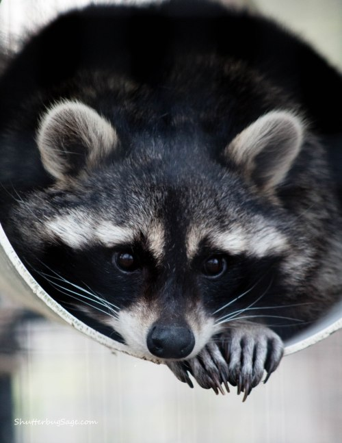 Sunset Zoo in Manhattan, Kansas - Raccoon