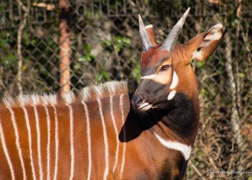 Zoo Atlanta - Bongo
