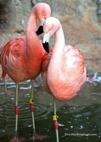 Zoo Atlanta - Flamingos