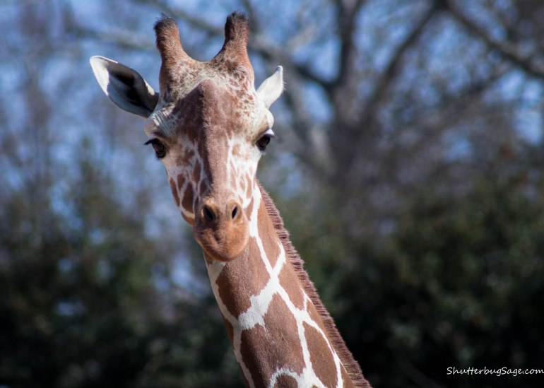 Zoo Atlanta - Giraffe Close Up