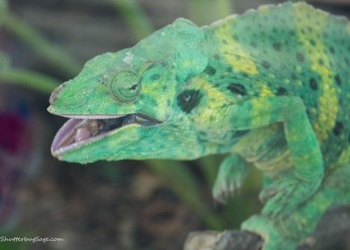 Zoo Atlanta - Iguana