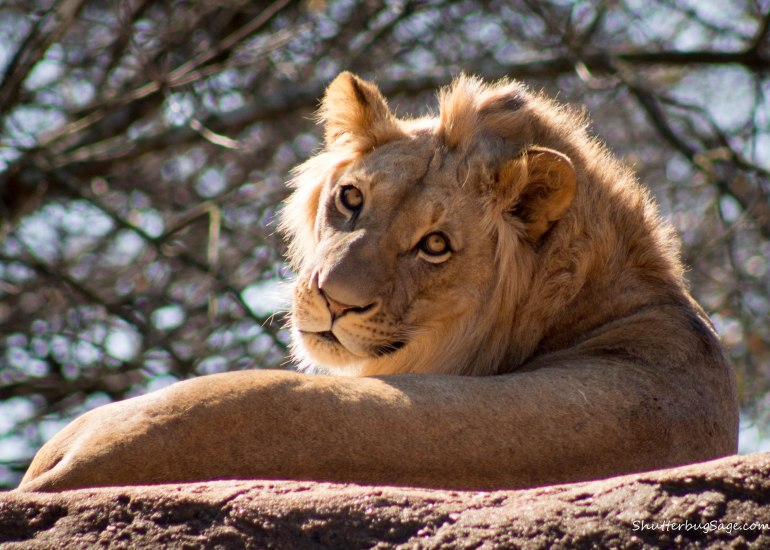 Zoo Atlanta - African Lion
