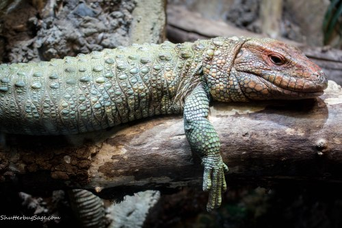 Zoo Atlanta - Lizard Thing