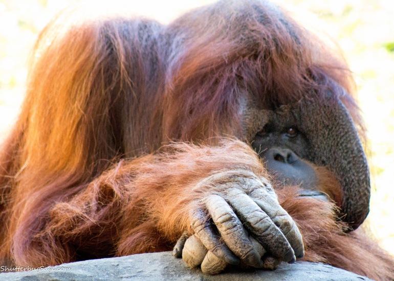 Zoo Atlanta - Orangutan