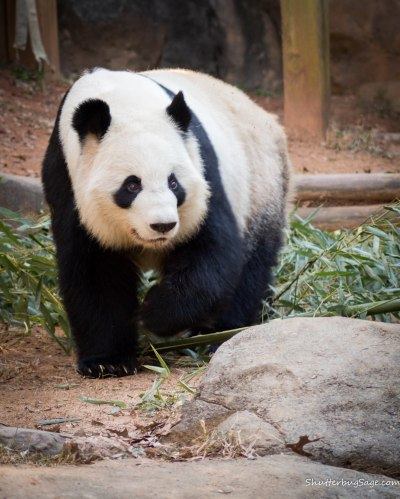 Zoo Atlanta - Giant Panda
