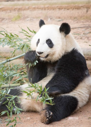 Zoo Atlanta - Giant Panda Eating Bamboo