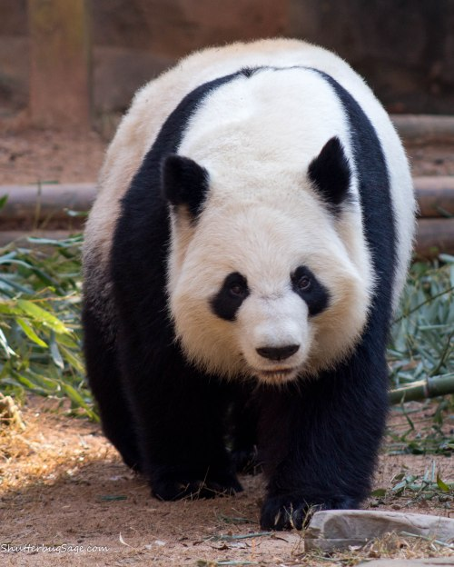 Zoo Atlanta - Giant Panda