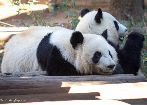 Zoo Atlanta - Giant Panda Twins Mei Lun and Mei Huan