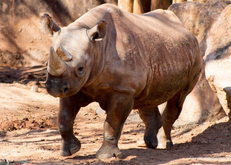 Zoo Atlanta - Black Rhino