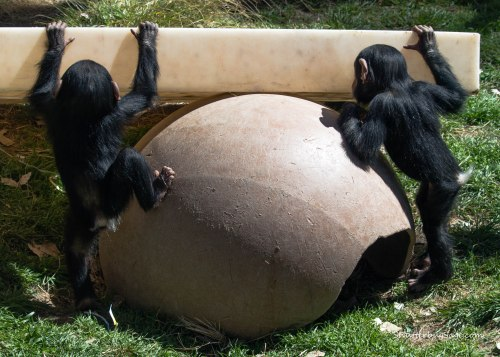 Baby chimps Rio and Dezi busy exploring their world