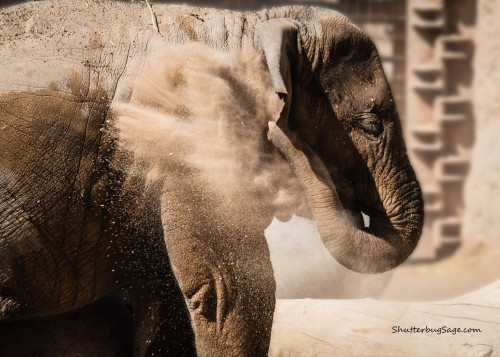 Baby Asian elephant, Jazmine, protects herself from sunburn and bugs by throwing dust on her back.