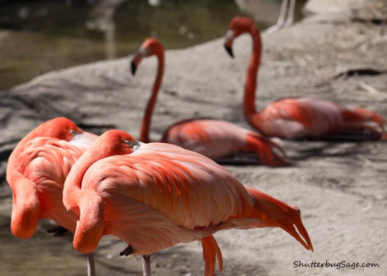 Flamingos at the Albuquerque BioPark Zoo