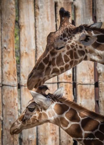 Baby giraffe, Kumi, hangs out with his mom at the Rio Grande Zoo