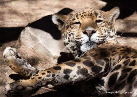 Jaguar looking up from an afternoon nap