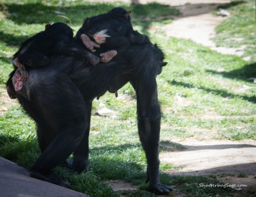 Mom Elaine carries twin chimp boys Rio and Dezi to a quiet, shady corner for a nap