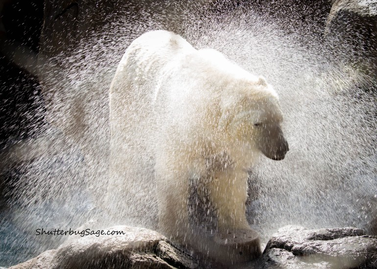 One of the twin polar bears at the Albuquerque BioPark Zoo shaking off after a swim