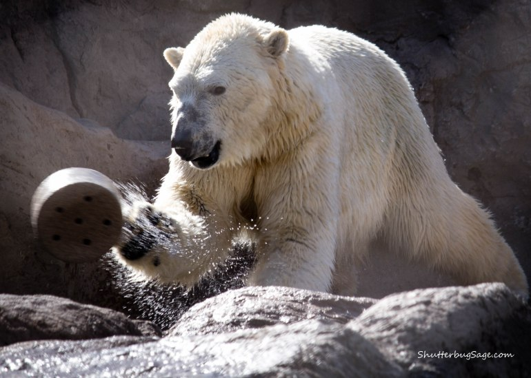 One of the twin polar bears at the Albuquerque BioPark Zoo tossing a toy into the water